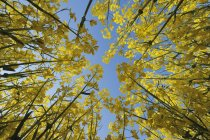 Вид снизу поля цветущие Желтый рапс против голубого неба — стоковое фото