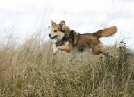 Mongrel jumping over ditch on meadow — Stock Photo