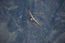 Чорний грудьми Стерв'ятник орел літати в горах Перу — стокове фото