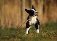 Border Collie filhote de cachorro brincando com o pau no Prado — Fotografia de Stock