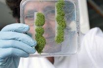 Gros plan d'un scientifique tenant Arabidopsis dans une boîte de Pétri — Photo de stock