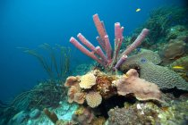 Caribbean, Antilles, Curacao, Westpunt, Tube sponge, Aplysina archeri on water floor — Stock Photo