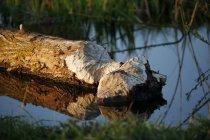 Alemanha, Baden-Wuerttemberg, Hohenlohe, Beaver, Castor fiber, danificar a árvore sobre a água — Fotografia de Stock