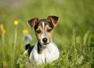 Щенка Джек Рассел, лежа на траве — стоковое фото