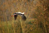 Weißstorch fliegt im herbstlichen Park, Seitenansicht — Stockfoto