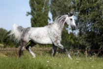 Wuerttemberger gray horse galloping on meadow — Stock Photo