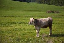 Корова в зеленых пастбищ — стоковое фото