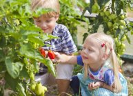 Boy and girl picking tomatoes in garden — Stock Photo
