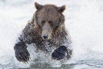 Bear hunting salmon in Silver salmon creek — Stock Photo