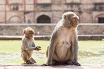 Macaque del macaco de la India con cub en el fuerte rojo - foto de stock