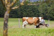 Корова на зеленом пастбище с прицепом сена — стоковое фото