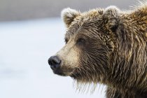Close-up de urso marrom no Parque Nacional do Lago Clark e preservar, Alasca, Estados Unidos da América — Fotografia de Stock
