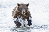 Salmone bruno da caccia all'orso — Foto stock
