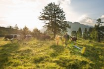 Young woman walking with farmer in alpine meadow, Salzburg, Austria — Stock Photo