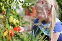 Маленькая девочка, сбор спелых помидоров в саду — стоковое фото