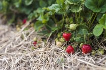 Ripe and unripe strawberries growing on plant — Stock Photo