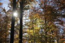 Буковые деревья в осенний лес на подсветкой — стоковое фото