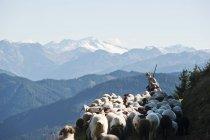 Shepherd herding sheep in mountains — Stock Photo