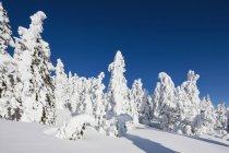 Vista de neve coberta de árvores na floresta bávara no diurno, Baviera, Alemanha — Fotografia de Stock
