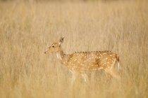 Hirsche zu Fuß hohen trockenen Gras — Stockfoto