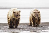 Brown bears walking at lake — Stock Photo