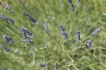 Лаванда квіти в зеленому полі — стокове фото
