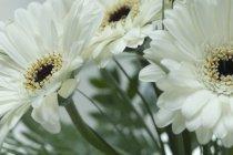 Weiße Gerbera auf verschwommenem Hintergrund, Nahaufnahme — Stockfoto