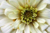 Deutschland, zinnia flower, nahaufnahme — Stockfoto