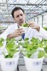 Scientist examining corn salad plants — Stock Photo