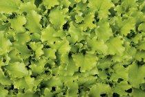 Salatblättersalat — Stockfoto