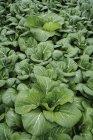 Germania, Baviera, coltivazione di pak choi — Foto stock
