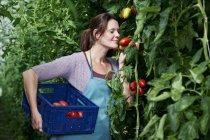 Женщина, уборки томатов — стоковое фото