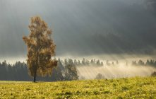 Austria, Sunbeam on foggy birch trees during autumn — Stock Photo