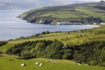 United Kingdom, Northern Ireland, County Antrim, sheep grazing on grassy landscape — Stock Photo