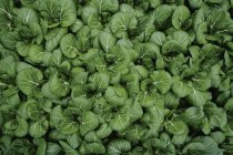 Top view of Cultivation of green pak choi — Stock Photo