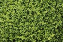 Alemanha, Bavaria, Buxus sempervirens, close-up — Fotografia de Stock