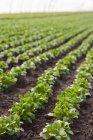 Linhas de salada de alface — Fotografia de Stock