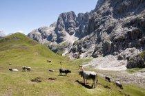 Mucche al pascolo nel prato — Foto stock