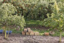 Alemanha, Baviera, Oberschwarzach, Vista da macieira e caixas no chão — Fotografia de Stock