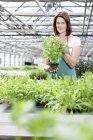Woman in greenhouse with basil plants — Stock Photo