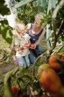 Бабушка и внучка, сбор помидоры — стоковое фото