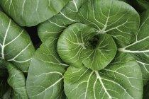 Вид сверху на культивацию зеленого пак чой — стоковое фото