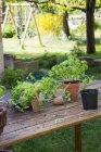 Tavolo in legno con fioriere, vasi della scuola materna, basilico e prezzemolo in giardino — Foto stock