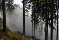 Austria, Tyrol, Chiemgau Alps, Forest and trees over Fog on hill — Stock Photo