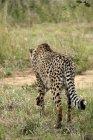 Afrique, Namibie, Okonjima Nature Reserve, Cheetah, Acinonyx Jubatus, vue rare — Photo de stock