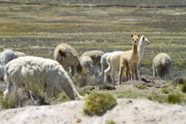 Група лами на пасовищі — стокове фото