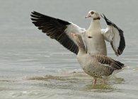 Oca selvaggia e Oca egiziana con diffondere le ali in acqua — Foto stock