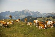 Mucche sul prato alpino — Foto stock