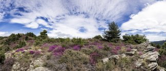 France, Cevennes Nature Park, Heather, Calluna vulgaris under clouds — Stock Photo