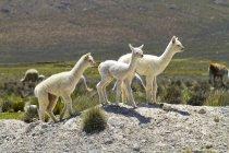 Neonati Lama bianco — Foto stock